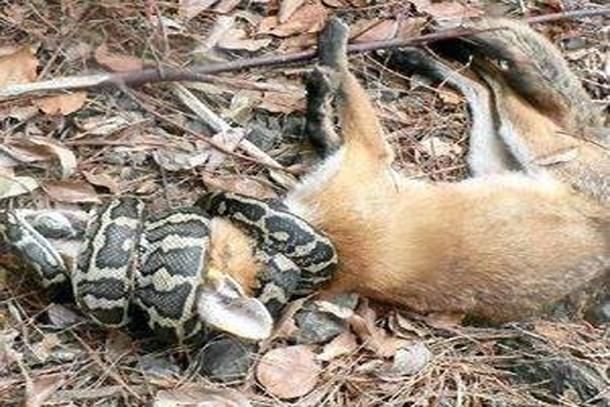'Tilki yiyen yılan' haberi muhabiri yedi!